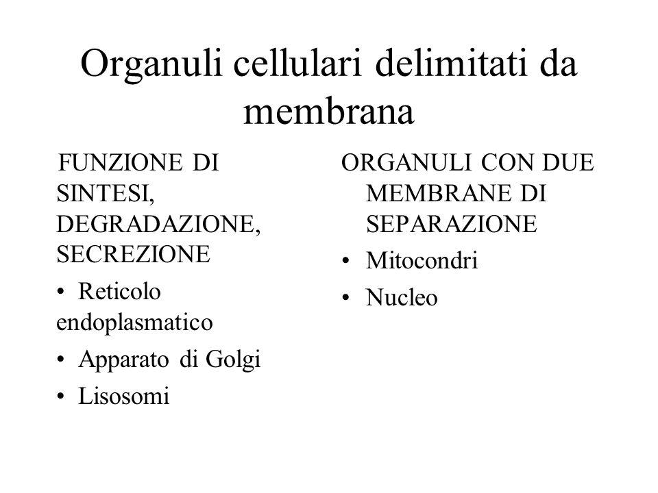 Organuli cellulari delimitati da membrana FUNZIONE DI SINTESI, DEGRADAZIONE, SECREZIONE Reticolo endoplasmatico Apparato di Golgi Lisosomi ORGANULI CON DUE MEMBRANE DI SEPARAZIONE Mitocondri Nucleo