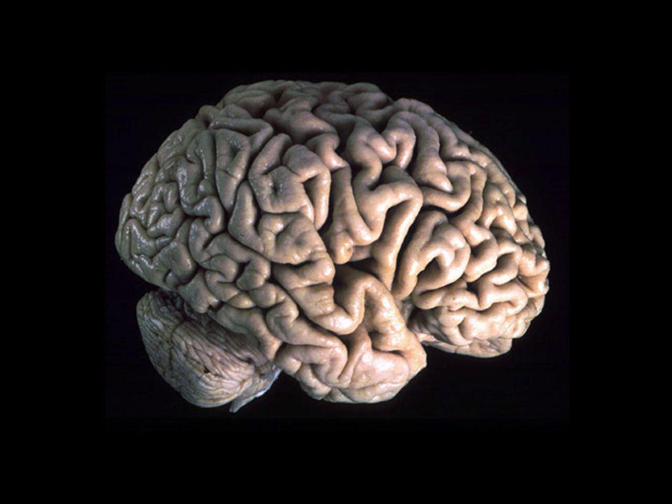 Il cervello umano è di gran lunga la struttura più complessa dell universo conosciuto.