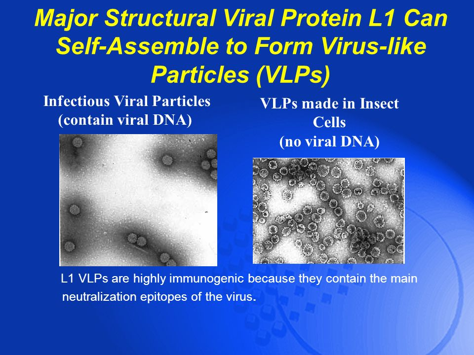 Major Structural Viral Protein L1 Can Self-Assemble to Form Virus-like Particles (VLPs) L1 VLPs are highly immunogenic because they contain the main n