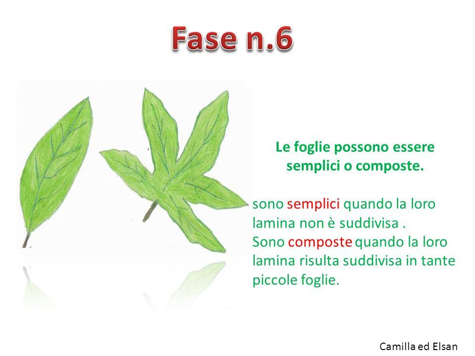 Le foglie possono essere semplici o composte. sono semplici quando la loro lamina non è suddivisa. Sono composte quando la loro lamina risulta suddivi