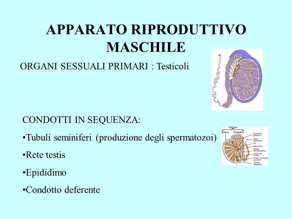 APPARATO RIPRODUTTIVO MASCHILE ORGANI SESSUALI PRIMARI : Testicoli CONDOTTI IN SEQUENZA: Tubuli seminiferi (produzione degli spermatozoi) Rete testis Epididimo Condotto deferente