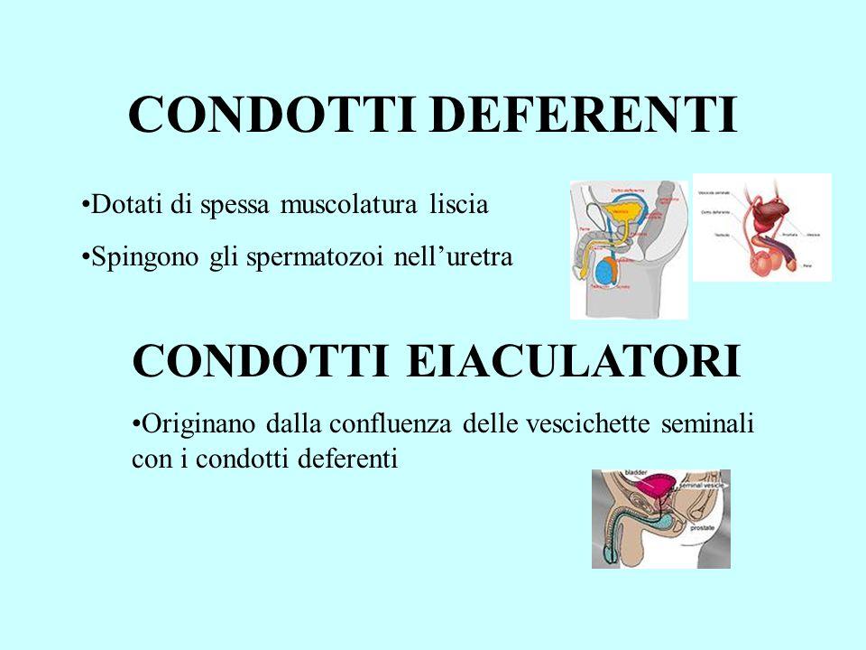 CONDOTTI DEFERENTI Dotati di spessa muscolatura liscia Spingono gli spermatozoi nelluretra CONDOTTI EIACULATORI Originano dalla confluenza delle vesci