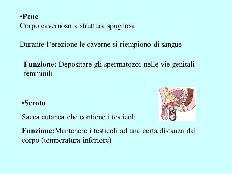 LIQUIDO SEMINALE Prodotto da: Vescichette seminali Prostata Ghiandole bulbouretrali Composizione: Acqua Fruttosio Prostaglandine (stimolano la contrazione dei dotti eiaculatori)
