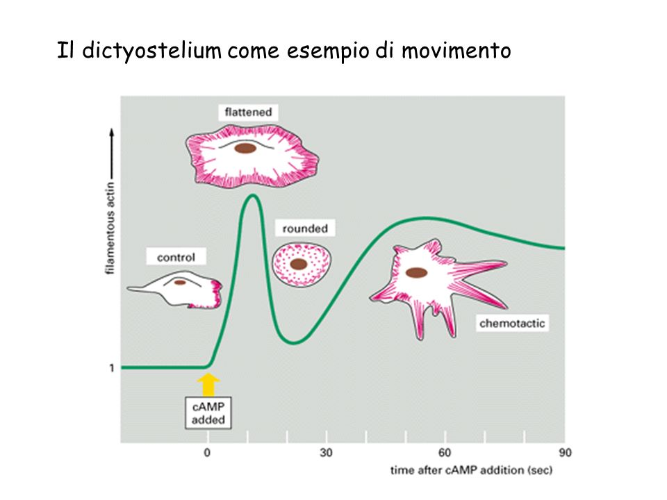 Il dictyostelium come esempio di movimento