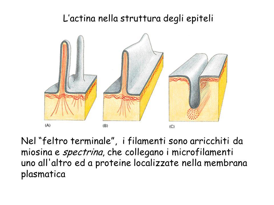 Lactina nella struttura degli epiteli Nel feltro terminale, i filamenti sono arricchiti da miosina e spectrina, che collegano i microfilamenti uno all