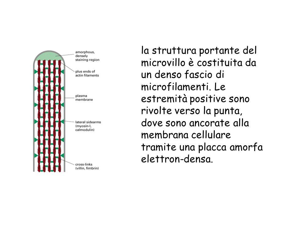 la struttura portante del microvillo è costituita da un denso fascio di microfilamenti. Le estremità positive sono rivolte verso la punta, dove sono a