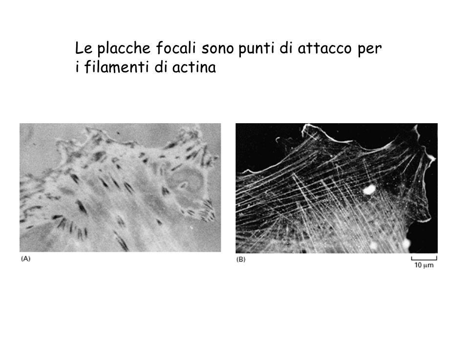 Le placche focali sono punti di attacco per i filamenti di actina