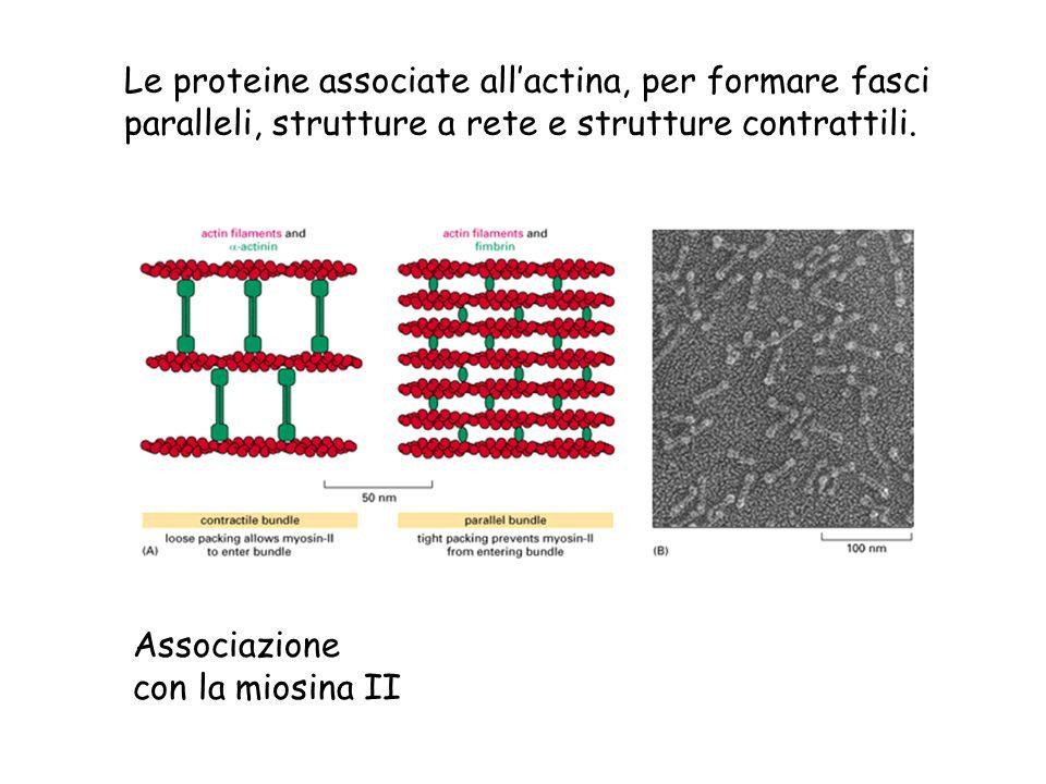 Le proteine associate allactina, per formare fasci paralleli, strutture a rete e strutture contrattili. Associazione con la miosina II