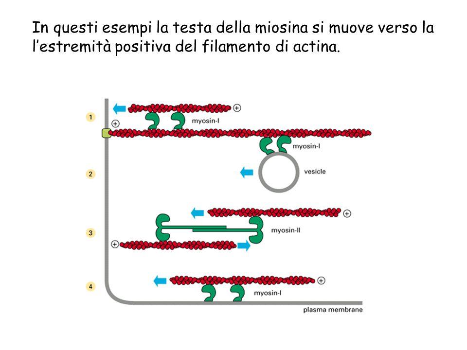 In questi esempi la testa della miosina si muove verso la lestremità positiva del filamento di actina.