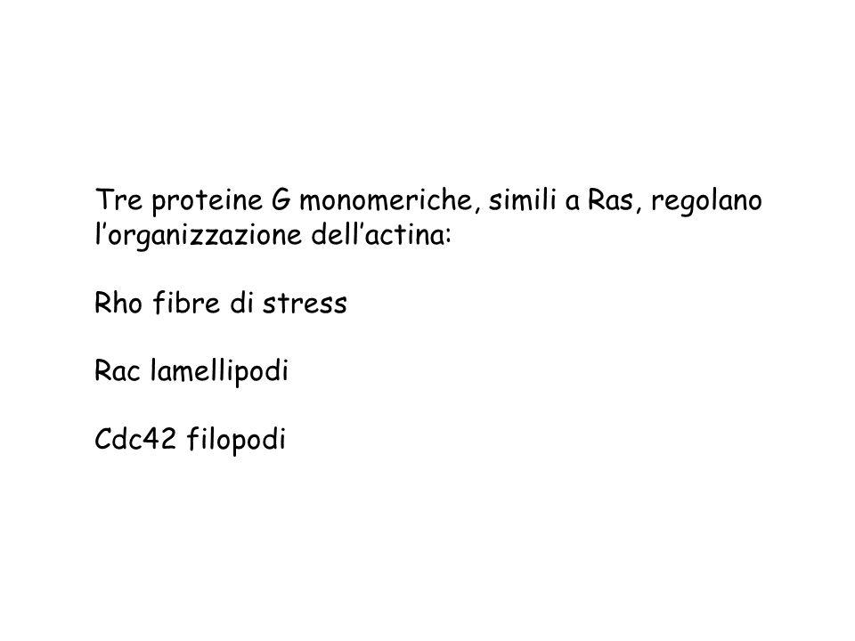 Tre proteine G monomeriche, simili a Ras, regolano lorganizzazione dellactina: Rho fibre di stress Rac lamellipodi Cdc42 filopodi