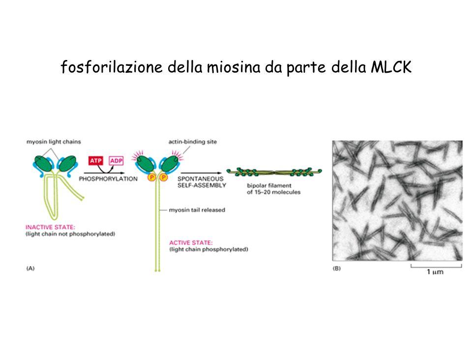 fosforilazione della miosina da parte della MLCK