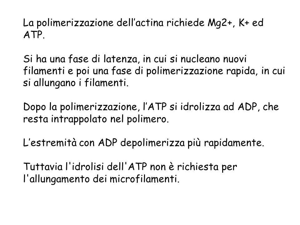 La polimerizzazione dellactina richiede Mg2+, K+ ed ATP. Si ha una fase di latenza, in cui si nucleano nuovi filamenti e poi una fase di polimerizzazi