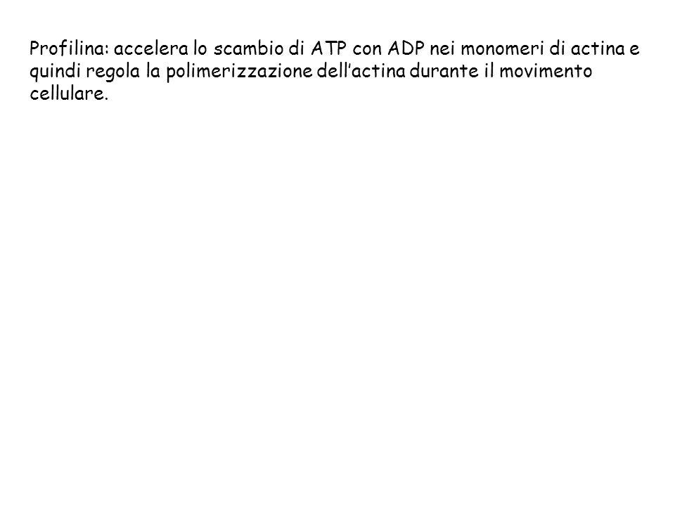 Profilina: accelera lo scambio di ATP con ADP nei monomeri di actina e quindi regola la polimerizzazione dellactina durante il movimento cellulare.