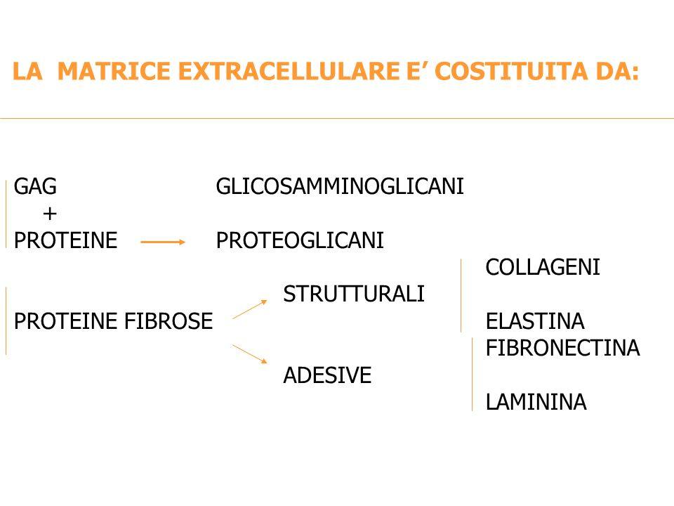 LA MATRICE EXTRACELLULARE E COSTITUITA DA: GAGGLICOSAMMINOGLICANI + PROTEINE PROTEOGLICANI COLLAGENI STRUTTURALI PROTEINE FIBROSEELASTINA FIBRONECTINA