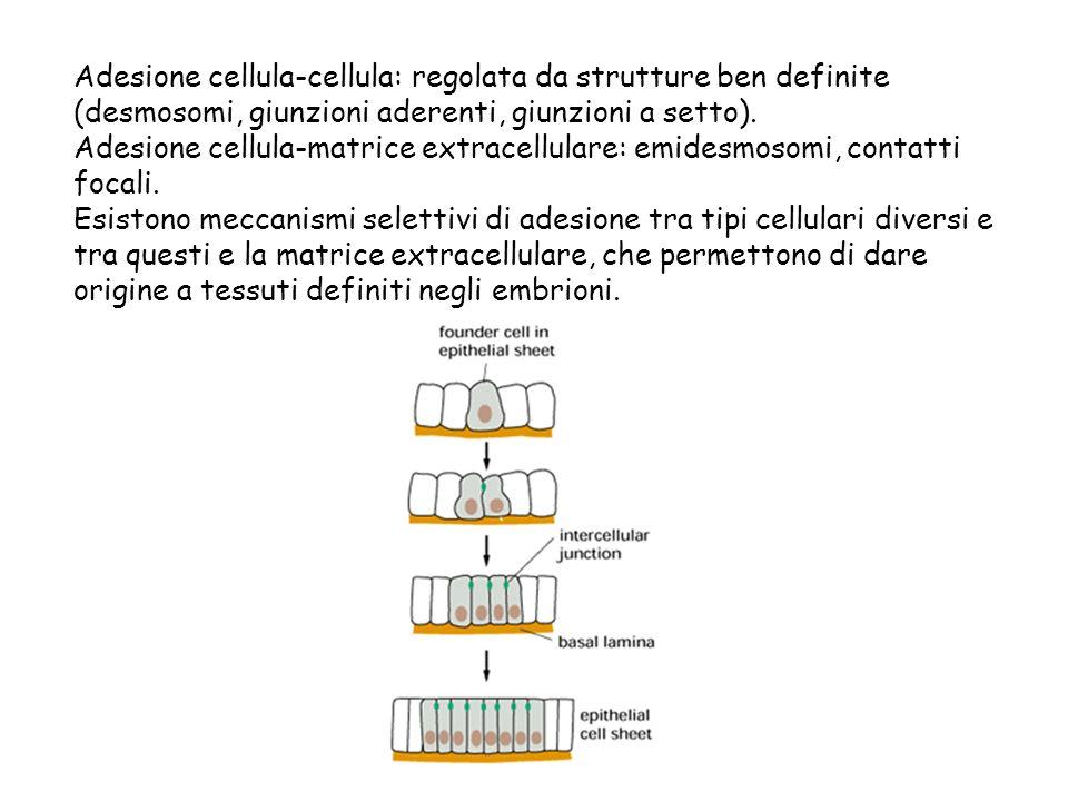 Adesione cellula-cellula: regolata da strutture ben definite (desmosomi, giunzioni aderenti, giunzioni a setto). Adesione cellula-matrice extracellula