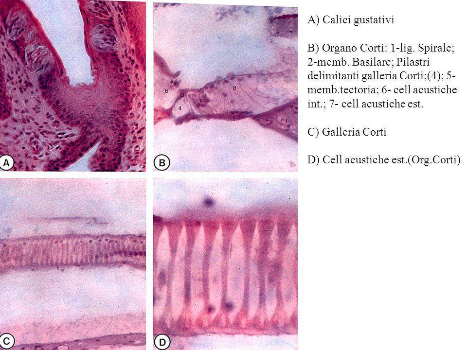 A) Calici gustativi B) Organo Corti: 1-lig. Spirale; 2-memb. Basilare; Pilastri delimitanti galleria Corti;(4); 5- memb.tectoria; 6- cell acustiche in