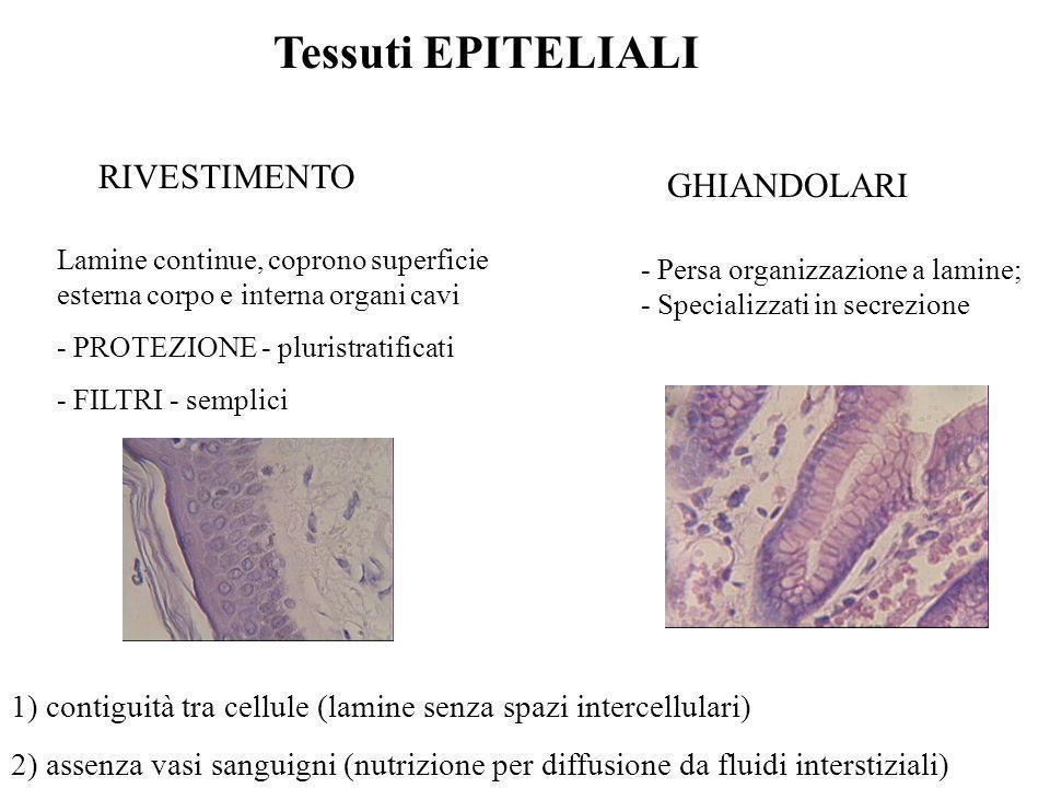 Tessuti EPITELIALI RIVESTIMENTO GHIANDOLARI Lamine continue, coprono superficie esterna corpo e interna organi cavi - PROTEZIONE - pluristratificati -
