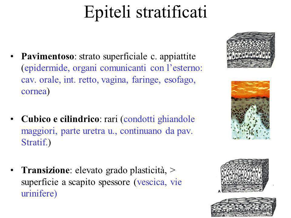Epiteli stratificati Pavimentoso: strato superficiale c. appiattite (epidermide, organi comunicanti con lesterno: cav. orale, int. retto, vagina, fari