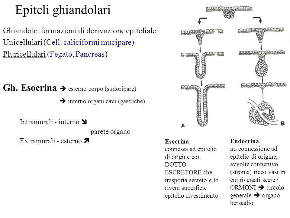 Esocrina connessa ad epitelio di origine con DOTTO ESCRETORE che trasporta secreto e lo rivera superficie epitelio rivestimento Endocrina no connessio