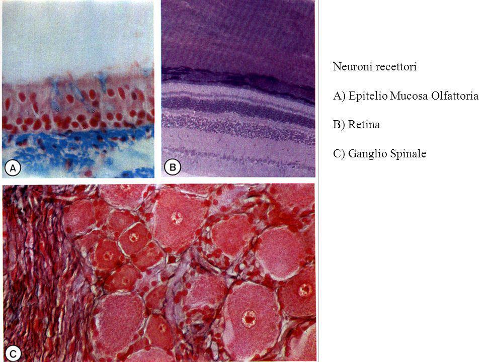 Neuroni recettori A) Epitelio Mucosa Olfattoria B) Retina C) Ganglio Spinale