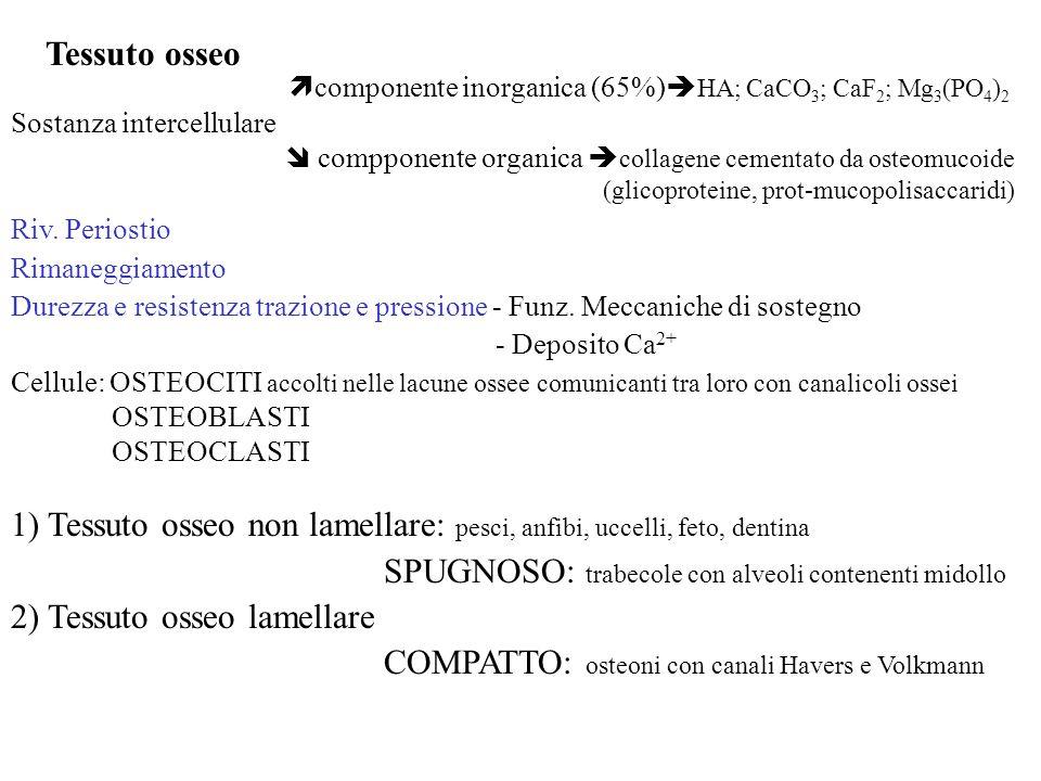 Tessuto osseo componente inorganica (65%) HA; CaCO 3 ; CaF 2 ; Mg 3 (PO 4 ) 2 Sostanza intercellulare compponente organica collagene cementato da oste