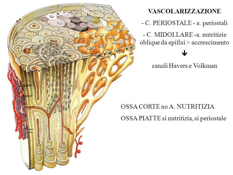 VASCOLARIZZAZIONE - C. PERIOSTALE - a. periostali - C. MIDOLLARE -a. nutritizie oblique da epifisi > accrescimento canali Havers e Volkman OSSA CORTE