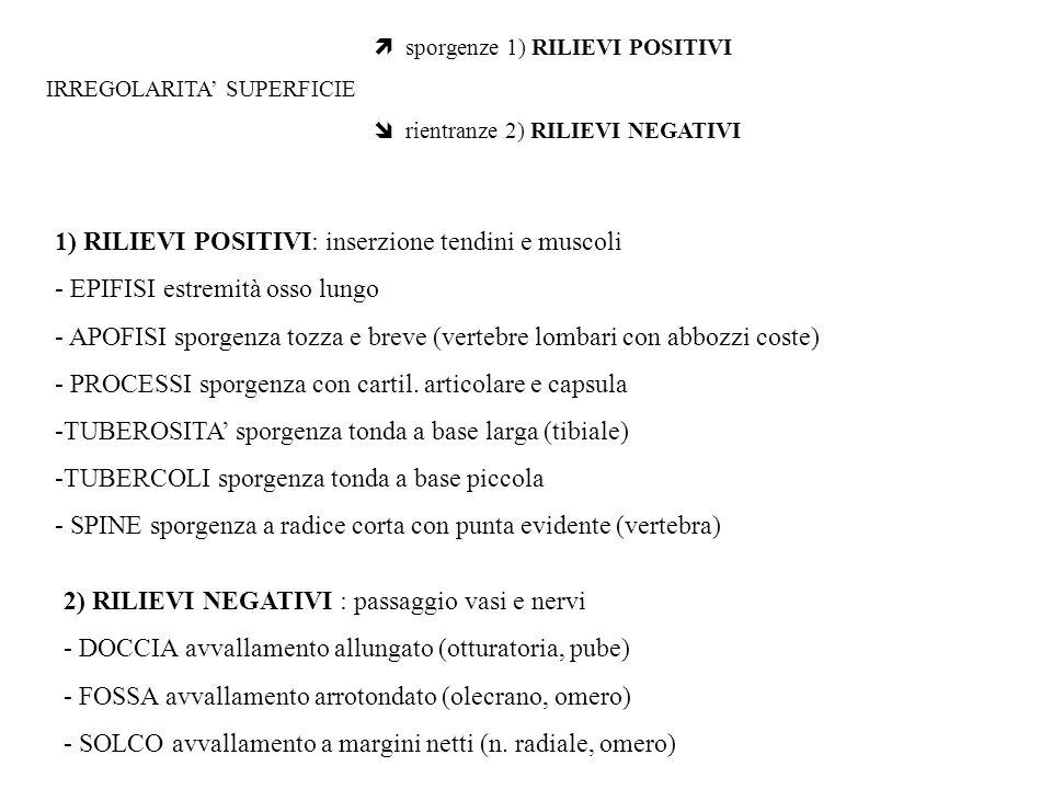 sporgenze 1) RILIEVI POSITIVI IRREGOLARITA SUPERFICIE rientranze 2) RILIEVI NEGATIVI 1) RILIEVI POSITIVI: inserzione tendini e muscoli - EPIFISI estre