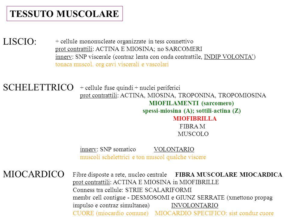 TESSUTO MUSCOLARE LISCIO: SCHELETTRICO MIOCARDICO + cellule mononucleate organizzate in tess connettivo prot contrattili: ACTINA E MIOSINA; no SARCOME
