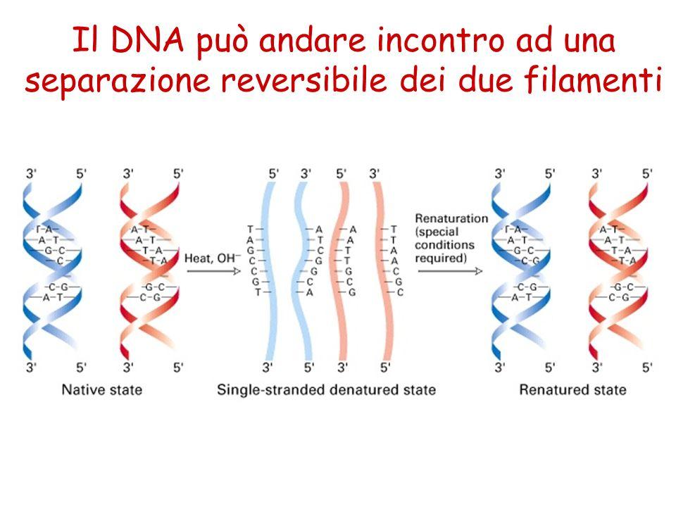 Il DNA può andare incontro ad una separazione reversibile dei due filamenti