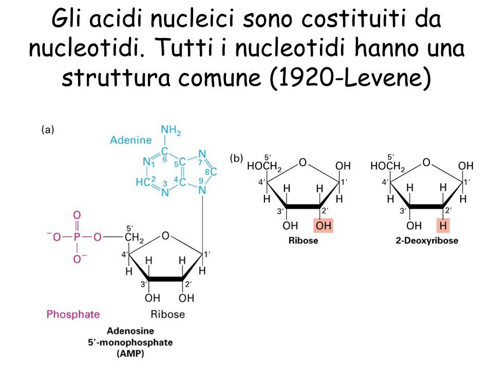 Gli acidi nucleici sono costituiti da nucleotidi. Tutti i nucleotidi hanno una struttura comune (1920-Levene)