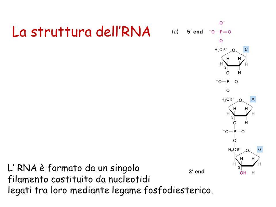 La struttura dellRNA L RNA è formato da un singolo filamento costituito da nucleotidi legati tra loro mediante legame fosfodiesterico.