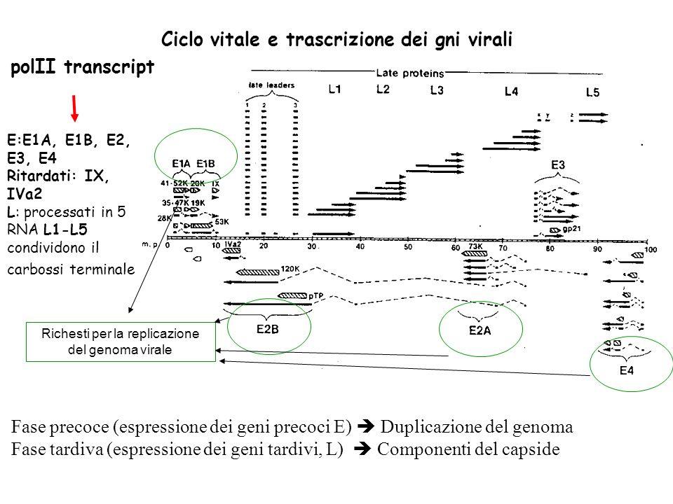 Ciclo vitale e trascrizione dei gni virali Fase precoce (espressione dei geni precoci E) Duplicazione del genoma Fase tardiva (espressione dei geni tardivi, L) Componenti del capside E:E1A, E1B, E2, E3, E4 Ritardati: IX, IVa2 L: processati in 5 RNA L1-L5 condividono il carbossi terminale polII transcript Richesti per la replicazione del genoma virale