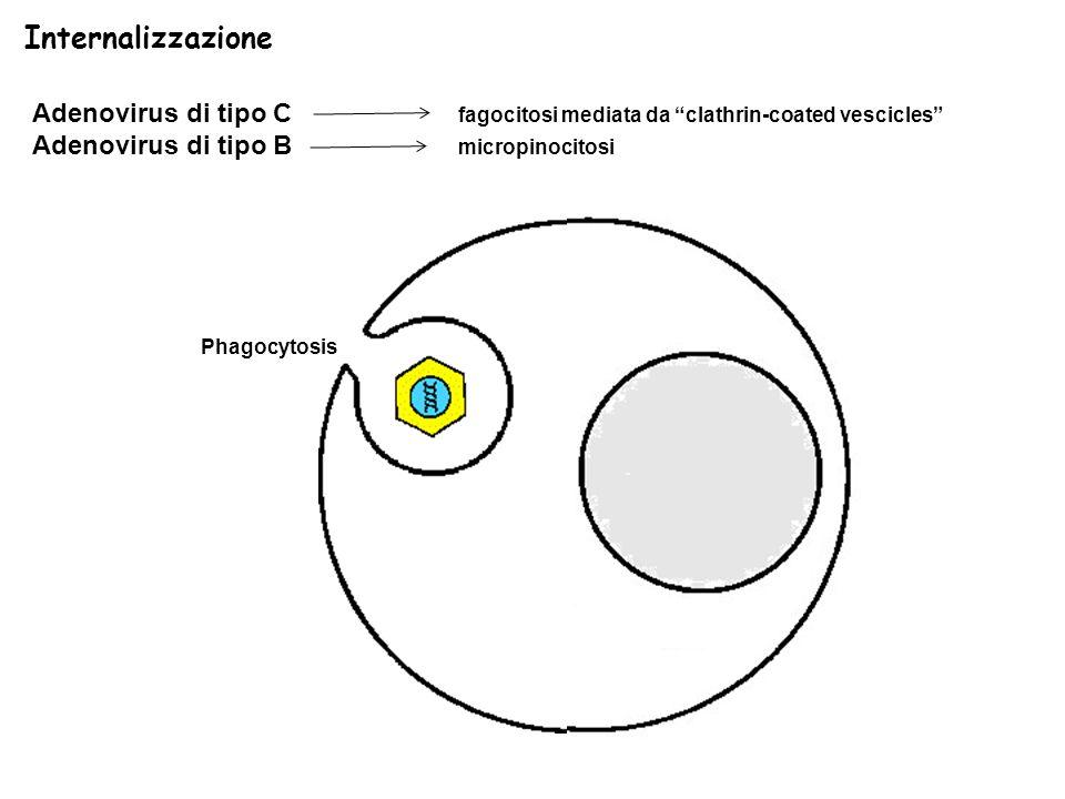 Phagocytosis Adenovirus di tipo C fagocitosi mediata da clathrin-coated vescicles Adenovirus di tipo B micropinocitosi Internalizzazione