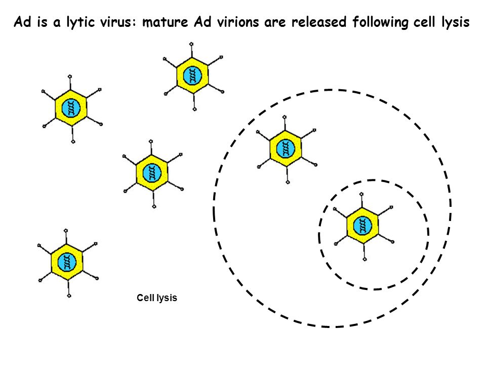 Cell lysis Ad is a lytic virus: mature Ad virions are released following cell lysis