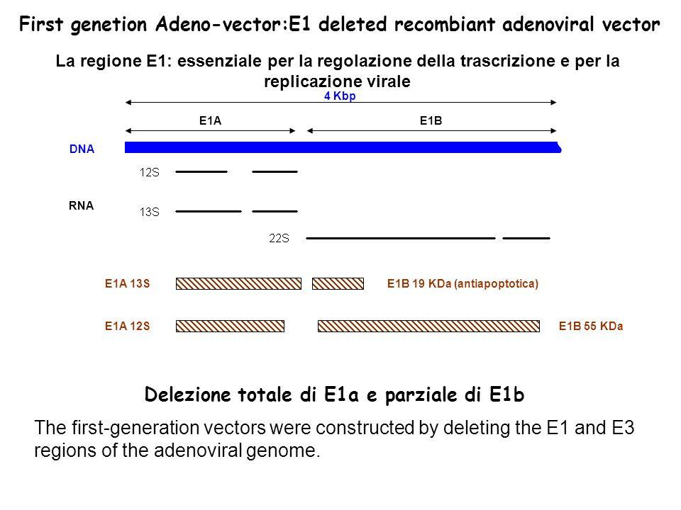 DNA RNA E1A 13S E1A 12S E1B 19 KDa (antiapoptotica) E1B 55 KDa 4 Kbp La regione E1: essenziale per la regolazione della trascrizione e per la replicazione virale E1AE1B First genetion Adeno-vector:E1 deleted recombiant adenoviral vector Delezione totale di E1a e parziale di E1b The first-generation vectors were constructed by deleting the E1 and E3 regions of the adenoviral genome.