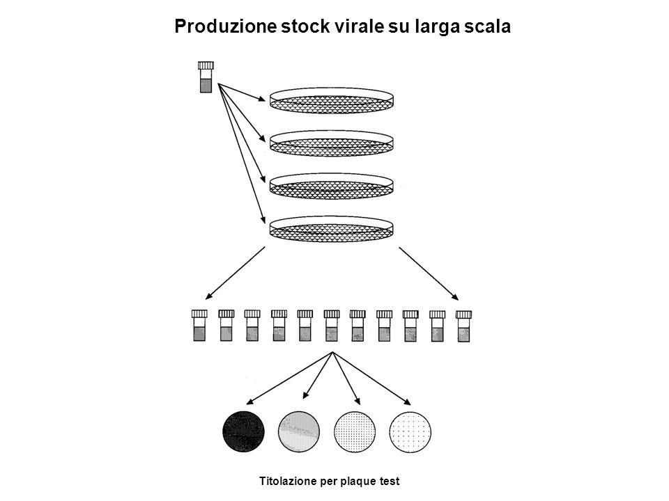 Produzione stock virale su larga scala Titolazione per plaque test