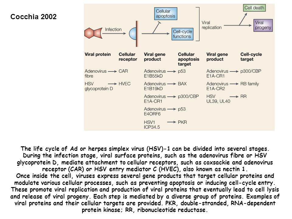 Cocchia 2002 The life cycle of Ad or herpes simplex virus (HSV)-1 can be divided into several stages. During the infection stage, viral surface protei