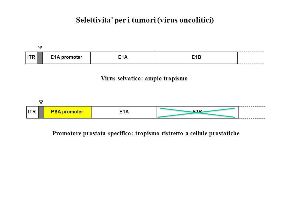 Selettivita per i tumori (virus oncolitici) Virus selvatico: ampio tropismo ITR E1AE1A promoterE1B Promotore prostata-specifico: tropismo ristretto a cellule prostatiche ITR E1APSA promoterE1B