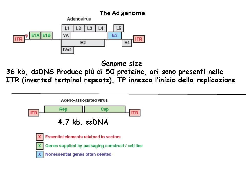 Genome size 36 kb, dsDNS Produce più di 50 proteine, ori sono presenti nelle ITR (inverted terminal repeats), TP innesca linizio della replicazione The Ad genome 4,7 kb, ssDNA