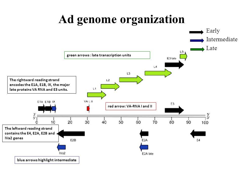 Ad genome organization The rightward reading strand encodes the E1A, E1B, IX, the major late proteins VA RNA and E3 units. The leftward reading strand