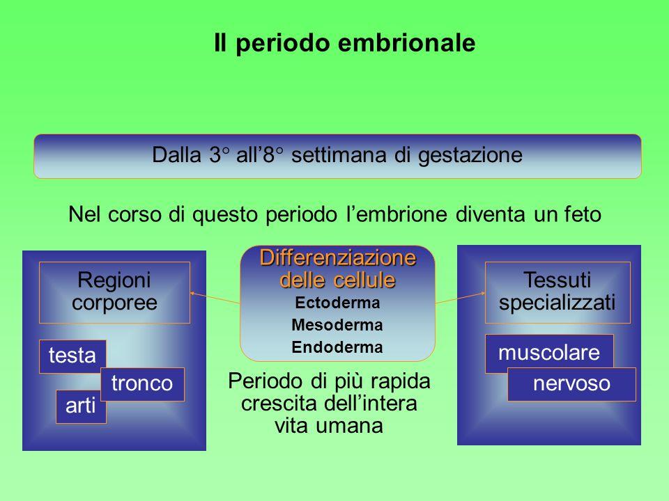 Nel corso di questo periodo lembrione diventa un feto Dalla 3° all8° settimana di gestazione Differenziazione delle cellule Ectoderma Mesoderma Endode