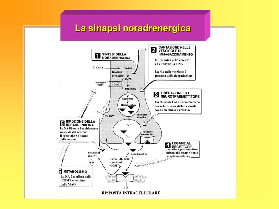 La sinapsi noradrenergica