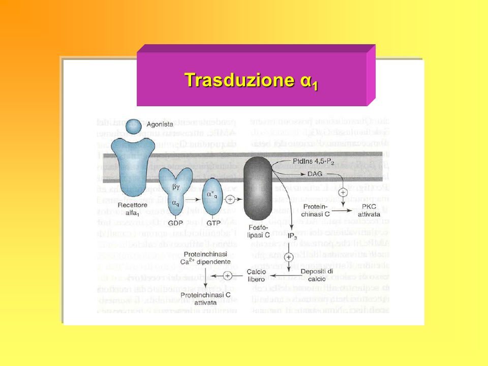 Trasduzione α 1