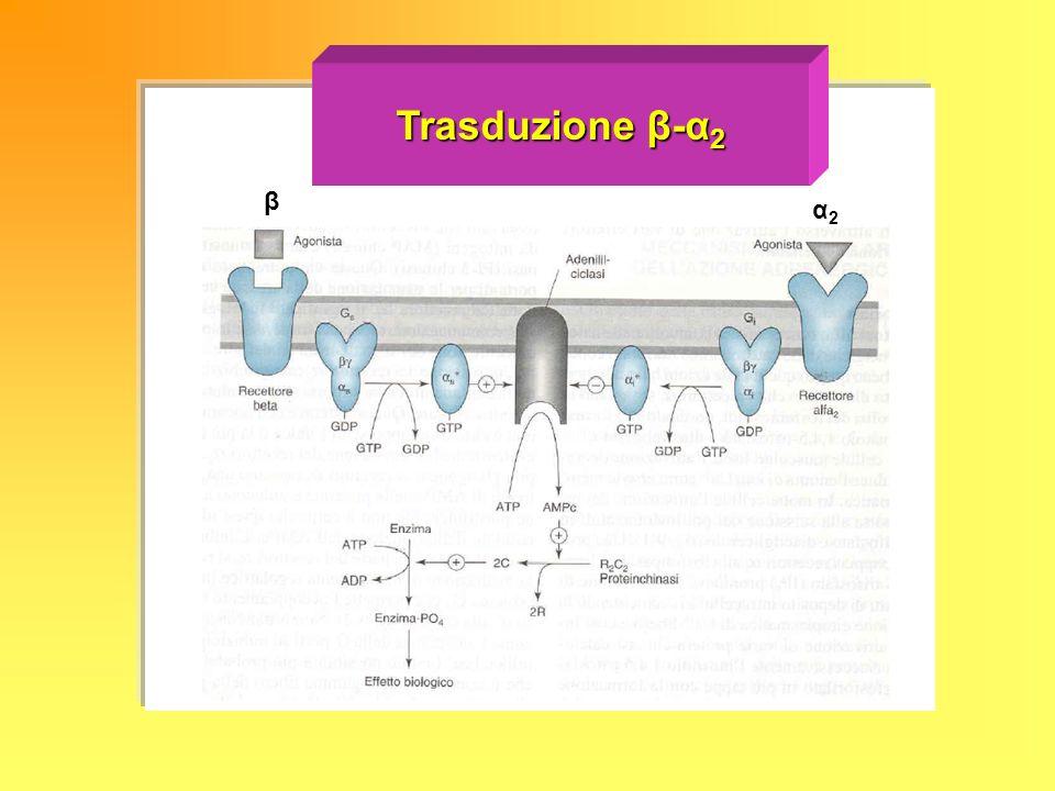 Trasduzione β-α 2 β α2α2α2α2