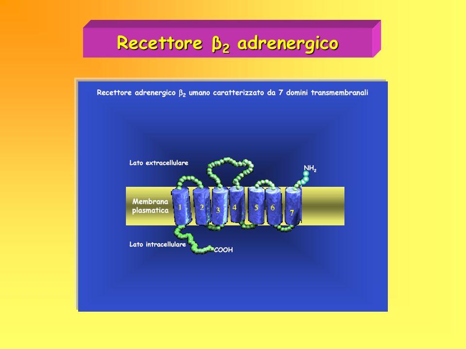 Recettore β 2 adrenergico