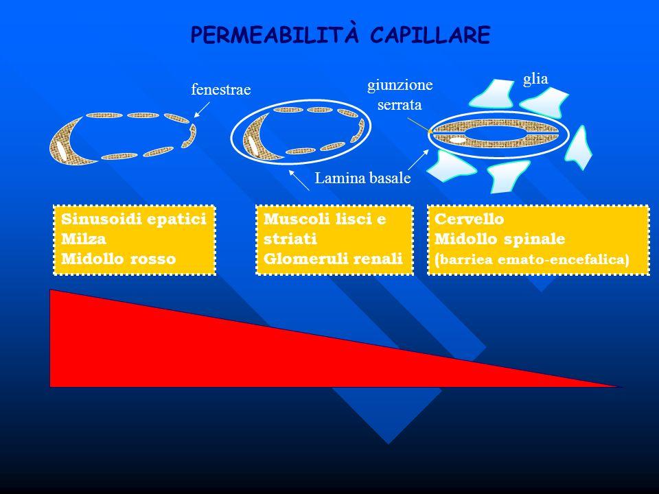 PERMEABILITÀ CAPILLARE glia Lamina basale Sinusoidi epatici Milza Midollo rosso Muscoli lisci e striati Glomeruli renali fenestrae Cervello Midollo sp