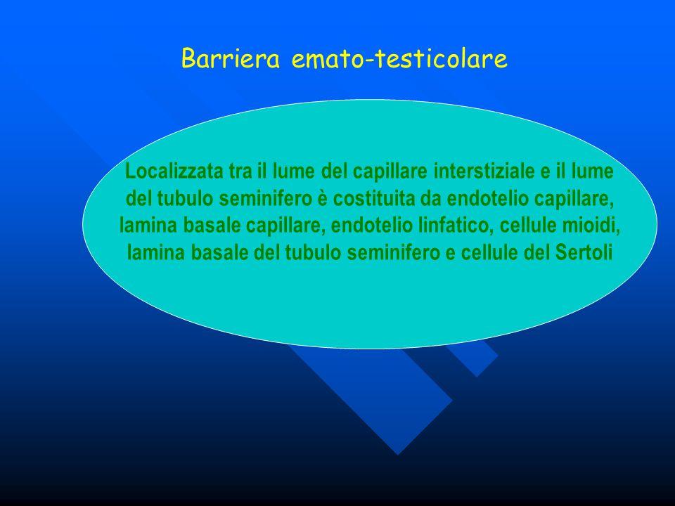 Barriera emato-testicolare Localizzata tra il lume del capillare interstiziale e il lume del tubulo seminifero è costituita da endotelio capillare, la