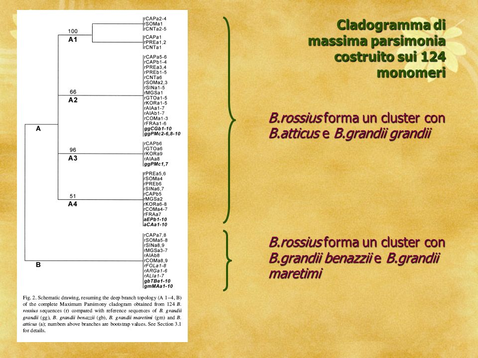 B.rossius forma un cluster con B.atticus e B.grandii grandii B.rossius forma un cluster con B.grandii benazzii e B.grandii maretimi Cladogramma di massima parsimonia costruito sui 124 monomeri
