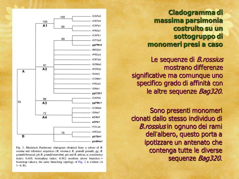 B.rossius accoglie ancora molta o tutta la variabilit à della famiglia satellite Bag320 contenendo monomeri di ciascun taxon derivato e anche sequenze private mancanti negli altri taxa.