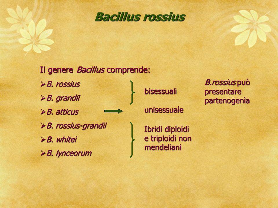 Bacillus rossius Il genere Bacillus comprende: B.rossius B.